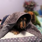 Best Dog Bed For Dachshunds 2021 (Latest Reviews Buyer Guide)