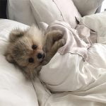 Best Dog Bed For Pomeranian 2021 - Comfy and Cozy