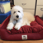 Best Dog Bed for Goldendoodle 2021 (Latest Reviews & Buying Guide)