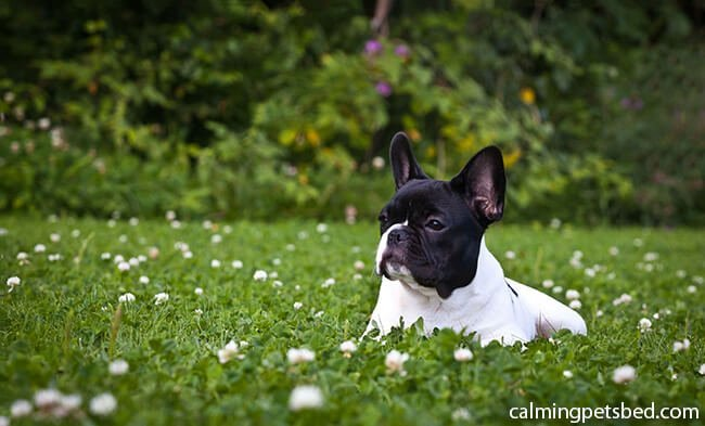 Best Dog Beds For French Bulldog